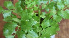Как вырастить зелень сельдерея из корня