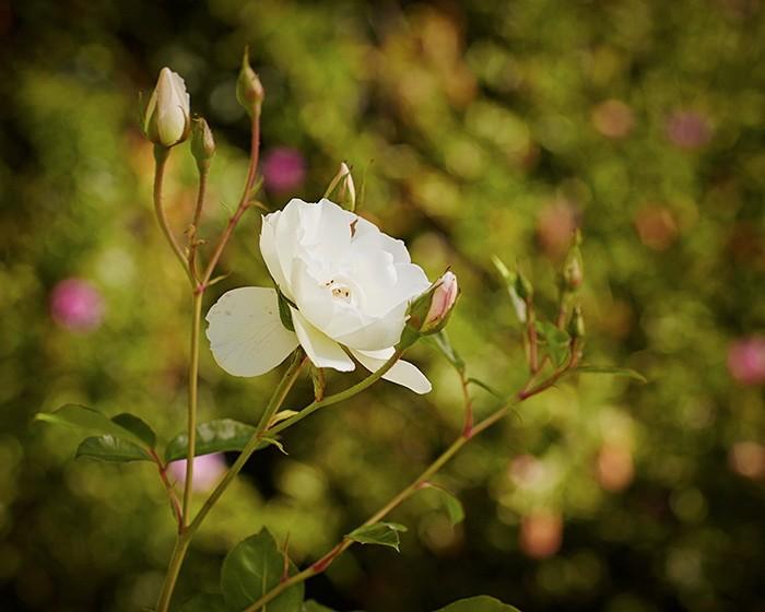 Как обрезать кусты роз