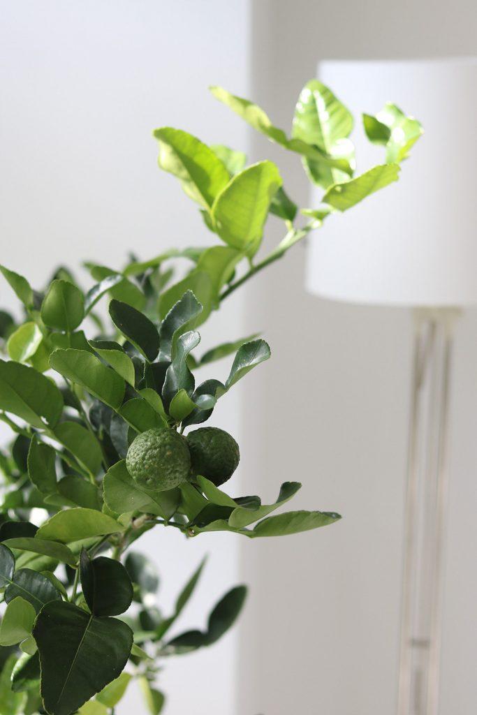 Как ухаживать за цитрусовым деревом дома